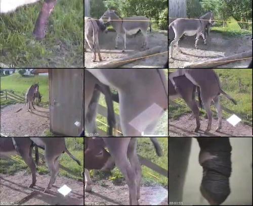 0429 ZooGay Eselhengste 2 - Eselhengste 2 - Male Bestiality