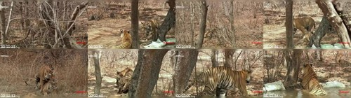 0033 FUN Tiger Breeding How Do Tiger Mating Real Video Wild Animals Mating Wildlife Compilation m - Tiger Breeding How Do Tiger Mating Real Video Wild Animals Mating Wildlife Compilation