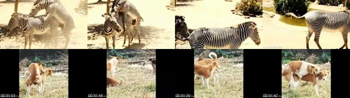 0036 FUN The Zebra Animal Sex Funny m - The Zebra Animal Sex Funny