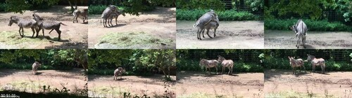 0099 FUN Parenje Zebri Zebra Befruchtung Zebra Fertilization m - Parenje Zebri Zebra Befruchtung Zebra Fertilization