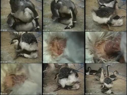 0805 ZTub Black Swans m - Black Swans - ZooSex Tube