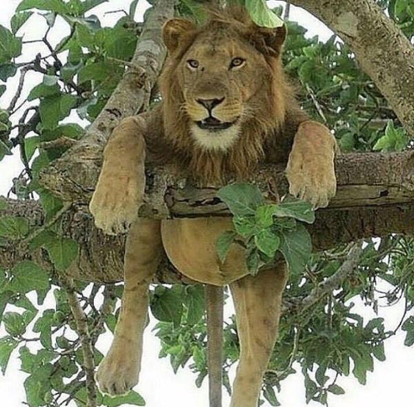 LionInTree,