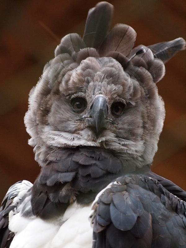 HarpyEagle1,