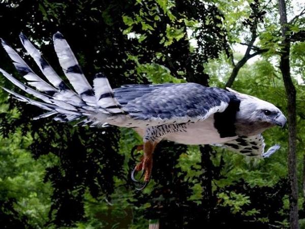 HarpyEagle5,